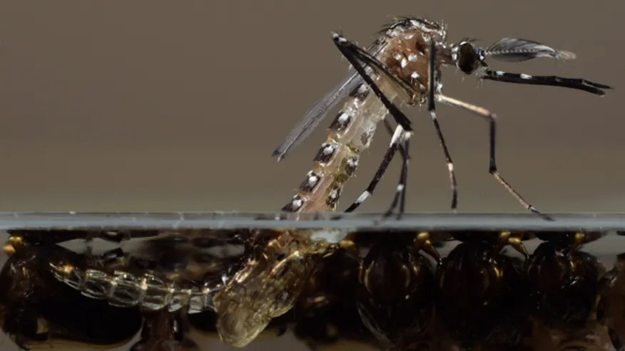 Genetically Modified Mosquito, Oxitec