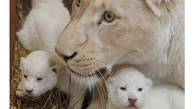 Poland White Lions 15.jpg