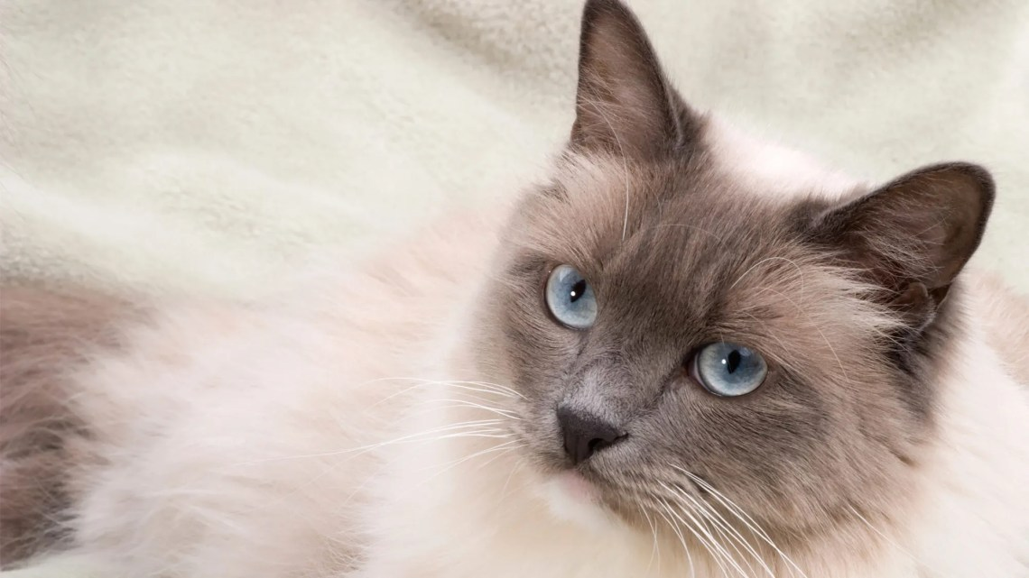 Best Cat Breeds for Apartment Living   Fox News