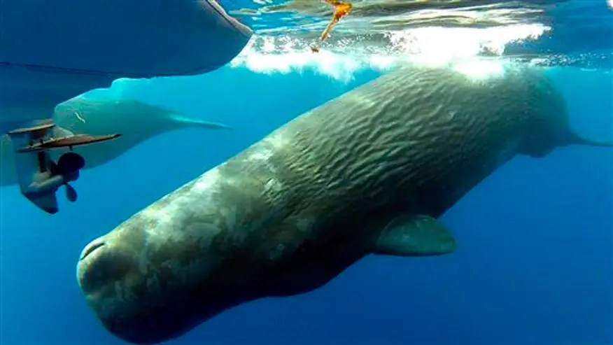Diver gets caught in whale 'poonado'