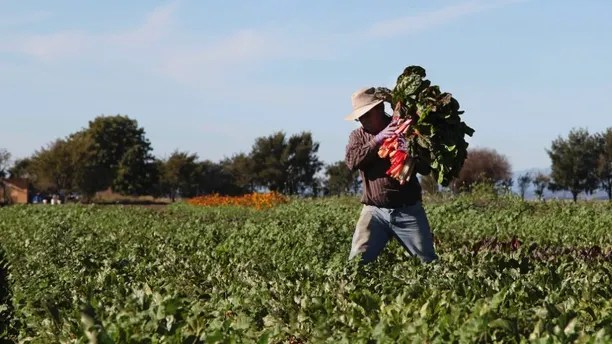 In this photo taken on Saturday, Nov. 10, 2012 in Salinas, Calif., Omar Chombo carries a bunch of chard across the field which he leases from the Agriculture and Land-Based Training Association, known as ALBA. The organization helps farmworkers, most of whom are first generation Latinos, to become independent organic farm operators. Since the program started in 2001, it has created more than 80 small farm businesses. (AP Photo/Gosia Wozniacka)