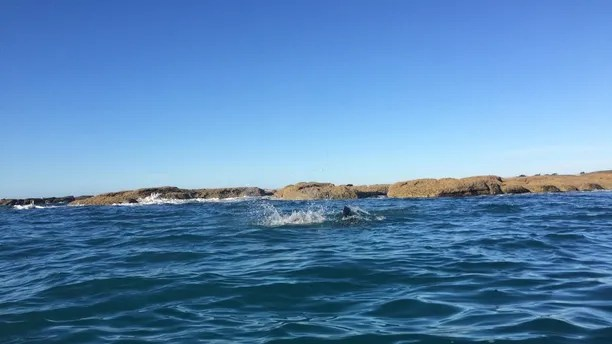 PIC FROM CATERS NEWS (Pictured: Seal and octopus fighting) - This is the incredible moment three tourists witnessed a fight to the death between a seal and an octopus. Conner Stapley caught the 20 minute battle during a kayaking tour in Kaikoura, in New Zealands South Island, on Tuesday (June 20). SEE CATERS COPY