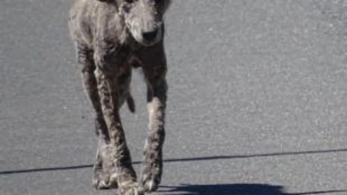 """Police warned residents to stay away from the """"zombie dogs"""" because they are infected coyotes."""