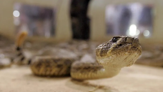 A rattlesnake slithers across the rattlesnake pit at the 48th annual Rattlesnake Round-up in Sweetwater, Texas.