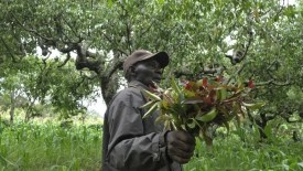Image result for miraa farming in kenya