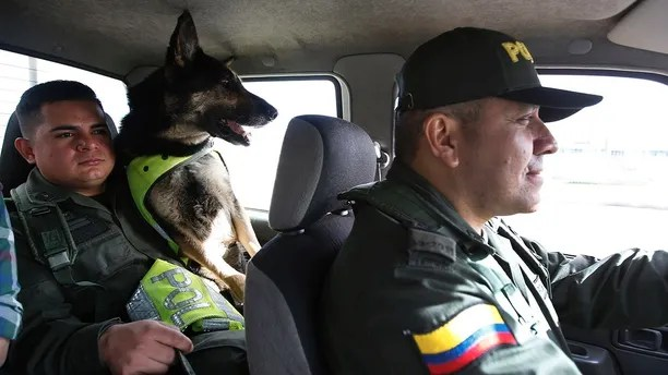 Drug dog Sombra rides with her handler, officer Jose Rojas, to the cargo hold at the El Dorado airport in Bogota, Colombia, Thursday, July 26, 2018. After learning there was a price on Sombra's head, Colombia's national police director ordered her to be transferred to a new post earlier this year, according to local news reports. Colombian police recently revealed that the Gulf Clan, a cartel that boasts its own guerrilla army, has offered a reward of $7,000 to whoever kills or captures the savvy hound. (AP Photo/Fernando Vergara)
