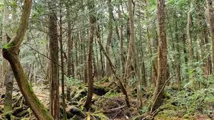 YouTube star Logan Paul is facing tough criticism for posting a video where he joked near a dead body in Japan's Aokigahara aka 'Suicide Forest.' Here's a look at why the land has been given such a dark moniker.