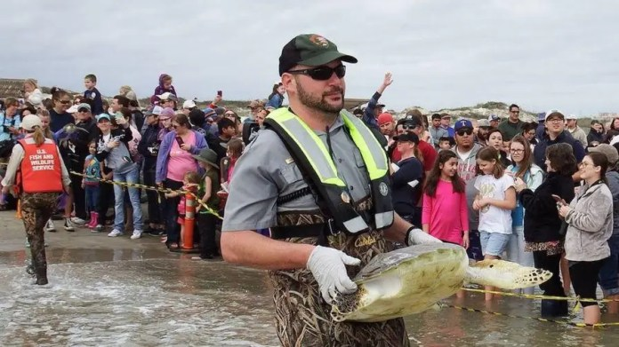 Hundreds of green sea turtles are being released back into the Gulf of Mexico after they were rescued last week from chilly waters.