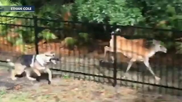 German Shepard plays tag with deer in Florida