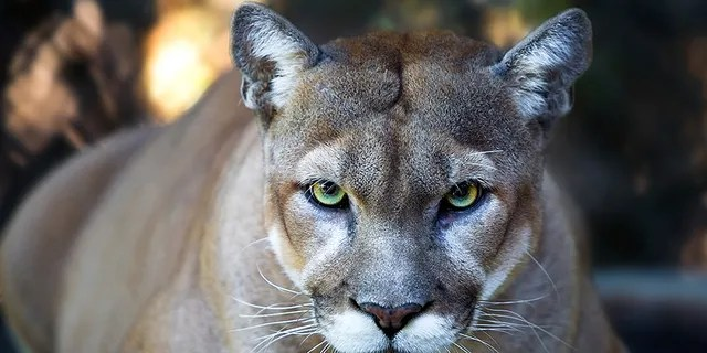 Cougar file photo.