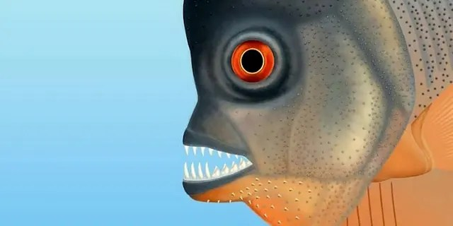 """Scientists say the """"remarkable"""" bony fish lived in the sea at the same time as the dinosaurs roamed the earth and had teeth like a piranha, which it used to bite off chunks of flesh from other fish. (Credit: SWNS)"""