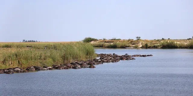 Officials estimate that 400 buffaloes died in the mass drowning. (Serondela Lodge)