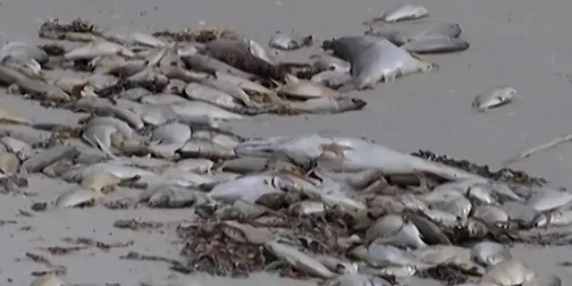 Dead fish are seen washed up by red tide.