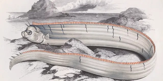 Bank's Oarfish, circa 1850. (Photo by Hulton Archive/Getty Images)