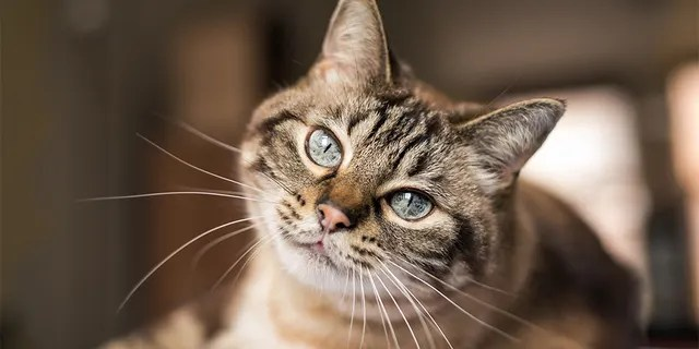 Cats respond to slow blinks from their owners and strangers. (iStock)