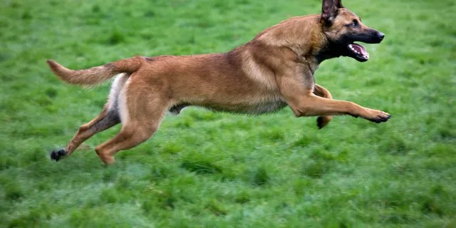 A Belgian shepherd dog or Malinois, similar to a dogs linked to a teen's death. (Getty Images)