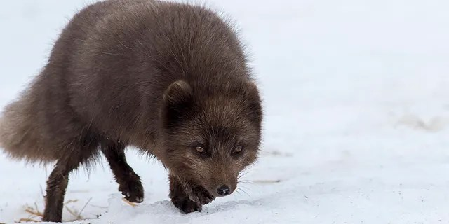 An Arctic Fox, like the one pictured, forged across about 96 miles of sea ice over the course of a single day, according to scientists with the Norwegian Polar Institute.