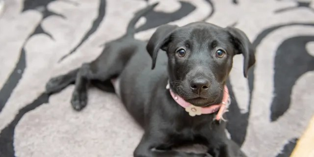 Roo, an eight-week-old Labrador-cross, jumps around on her back paws because she was born with two extra front legs, that cause her a little trouble when she walks.