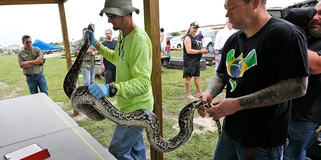 Hunters can earn extra bounties on snakes depending on its length and if it was guarding a nest of eggs. (AP Photo/Wilfredo Lee, File)