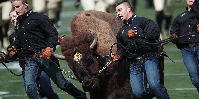 In this Sept. 7, 2019, file photo, handlers guide Colorado NCAA college football buffalo mascot Ralphie on a ceremonial run at a game against Nebraska, in Boulder, Colo. Ralphie V will retire after 12 seasons of roaming the field. The university said Tuesday, Nov. 12, 2019, that Ralphie, who turned 13 in October, hasn't been showing the same consistency as she has in prior seasons.