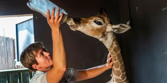 Fox News Today: Janie Van Heerden fed Jazz, a 9-day-old giraffe at the Rhino orphanage in the Limpopo province of South Africa. (AP Photo/Jerome Delay)