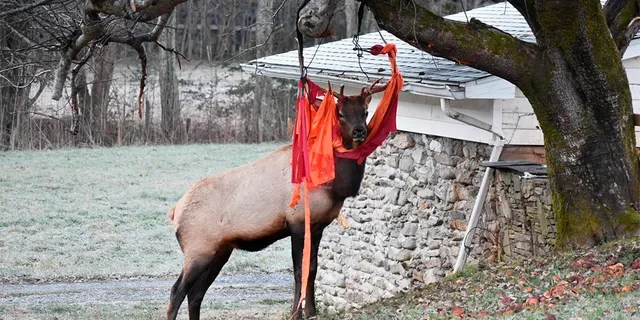 In this Nov. 28, 2019, photo provided by Jim Beaver, an elk stands stuck with a hammock in Beaver's yard in Maggie Valley, N.C. on Thanksgiving. (Jim Beaver via AP)