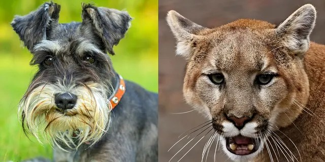 A Southern California woman sought to protect her dog from a mountain lion that wandered into her backyard on Thursday -- punching the wild cat the face and prying its jaws open in an attempt to save her miniature Schnauzer (like the one pictured left).