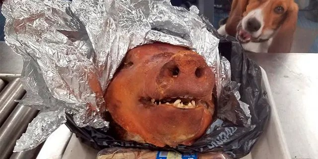 In this Oct. 11, 2018 photo provided by the U.S. Customs and Border Protection, CBP Agriculture Detector K-9 named Hardy looks at a roasted pig's head at Atlanta's Hartsfield-Jackson International Airport.(U.S. Customs and Border Protection via AP)
