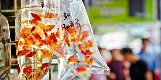 """Goldfish market in Tung Choi Street in Hong Kong, China"""