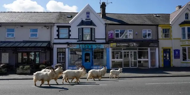LLANDUDNO, WALES - MARCH 31: Mountain goats roam the streets of LLandudno on March 31, 2020 in Llandudno, Wales. (Photo by Christopher Furlong/Getty Images)