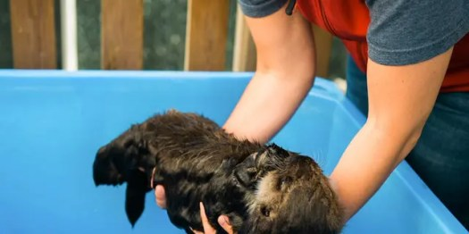 A volunteer at the rescue center holds a wet baby Joey.(Credit: Vancouver Aquarium/Ocean Wise)