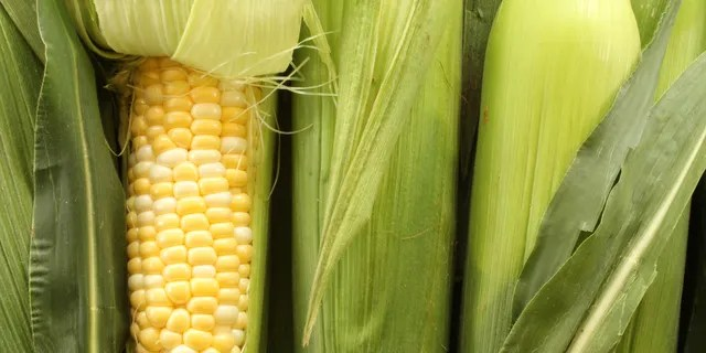 The yellow kernels in your poo are really just the corn kernel's outer coating, according to Andrea Watson, a ruminant nutritionist at the University of Nebraska-Lincoln.