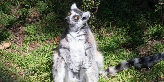 Maki, a 21-year-old ring-tailed lemur, was found safe after being stolen from the zoo overnight earlier this week.