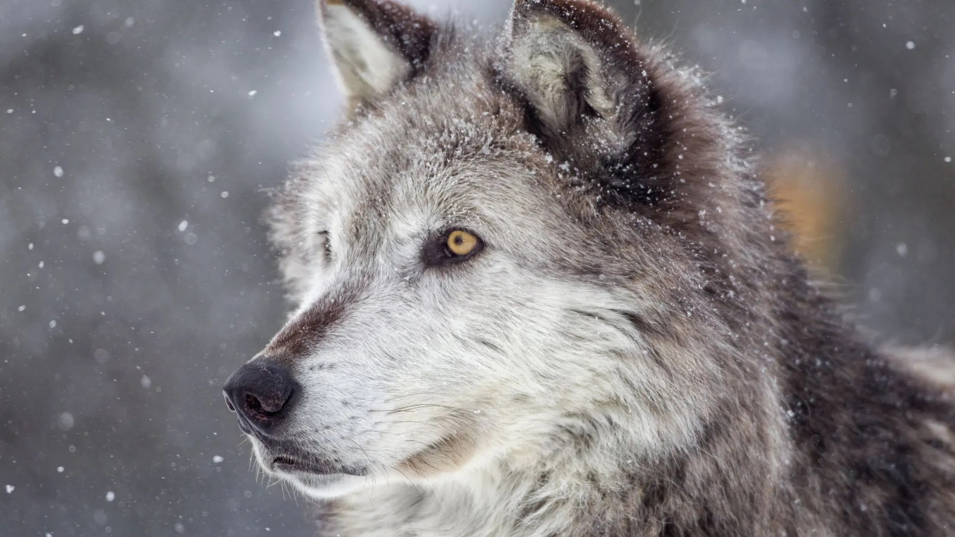 POLL: Should the Biden Administration reinstate the gray wolf on the List of Endangered and Threatened Wildlife?