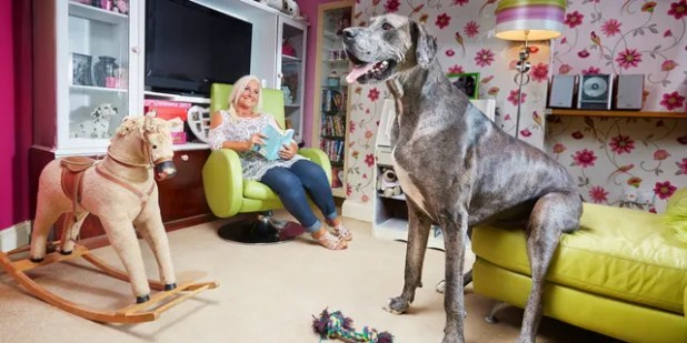 In 2016, Guinness World Records considered Freddie the world's tallest dog.  (Photo Credit: Paul Michael Hughes / Guinness World Records)
