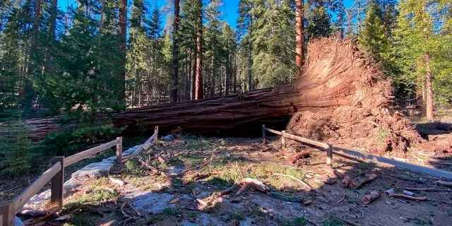 A fallen giant sequoia that came down during the Mono wind event on Tuesday is pictured. (Yosemite National Park via AP)