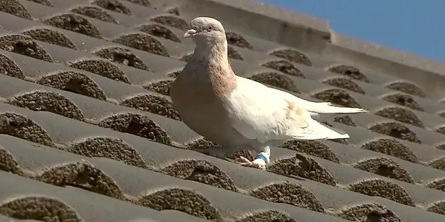 A racing pigeon sits on a rooftop Wednesday in Melbourne, Australia, The racing pigeon, first spotted in late December 2020, has made an extraordinary 8,000-mile Pacific Ocean crossing from the United States to Australia. (AP/Channel 9)