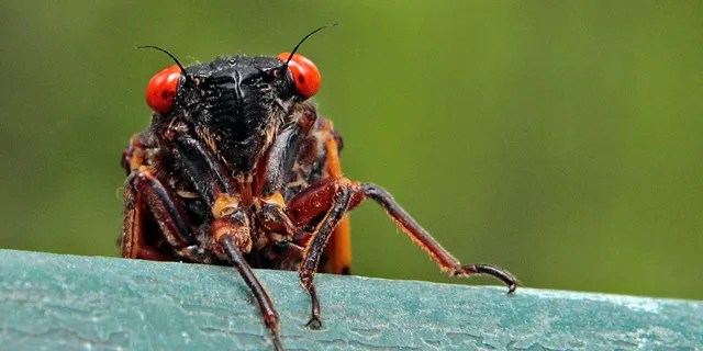 FILE - A cicada peers over a ledge in Chapel Hill, N.C., on May 11, 2011. (AP Photo/Gerry Broome, File)