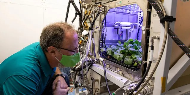 Dave Reed, Florida operations director for Techshot, Inc., observes radishes growing in the Advanced Plant Habitat (APH) ground unit inside the Space Station Processing Facility at NASA's Kennedy Space Center in Florida on Dec. 14, 2020. The radishes are a ground control crop for the Plant Habitat-02 (PH-02) experiment, which also involves growing two similar radish crops inside the International Space Station's APH. NASA astronaut Kate Rubins harvested the first crop on Nov. 30, and the second harvest aboard the orbiting laboratory is planned for Dec. 30. Once samples return to Earth, researchers will compare those grown in space to the radishes grown here on Earth to better understand how microgravity affects plant growth.