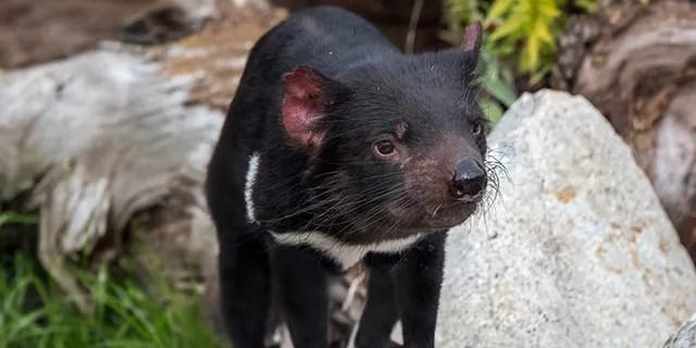 Tasmanian devil (Sarcophilus harrisii), largest carnivorous marsupial native to Australia. (Photo by: Arterra/Universal Images Group via Getty Images)