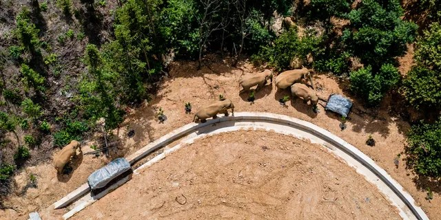 In this aerial file photo taken May 28, 2021, and released by China's Xinhua News Agency, a herd of wild Asian elephants walks in E'shan county in southwestern China's Yunnan Province. A herd of 15 wild elephants that walked 500 kilometers (300 miles) from a nature reserve in China's mountain southwest were approaching the major city of Kunming on Wednesday, June 2, as authorities rushed to try to keep them out of populated areas. (Hu Chao/Xinhua via AP, File)