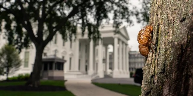 A shell of a Brood X cicada is seen on a tree on the North Lawn of the White House in Washington, Tuesday, May 25, 2021. Reporters traveling to the United Kingdom ahead of President Joe Biden's first overseas trip were delayed seven hours after their chartered plane was overrun by cicadas. The Washington, D.C., area is among the many parts of the country confronting the swarm of Brood X, a large emergence of the loud 17-year insects that take to dive-bombing onto moving vehicles and unsuspecting passersby. Weather and crew rest issues also contributed to the flight delay. (AP Photo/Carolyn Kaster)