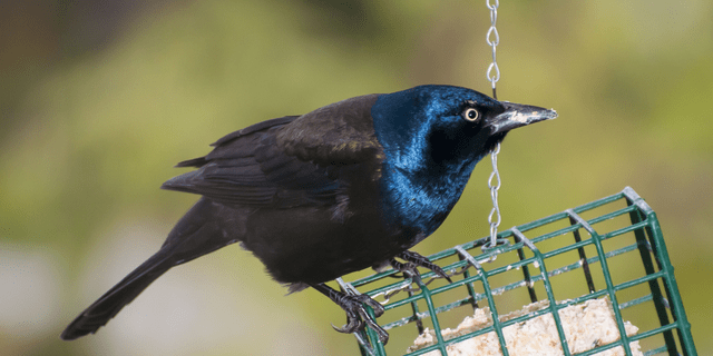 Vadnais heights, Minnesota, Male Common Grackle, Quiscalus quiscula eating from a suet feeder for birds. (Photo by: Michael Siluk/Education Images/Universal Images Group via Getty Images)