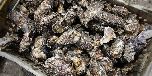 The oyster industry was hit hard by the coronavirus pandemic, since most oysters are consumed in restaurants and restaurants were shut down because of COVID-19.