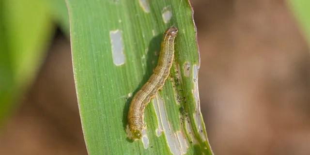 Fall armyworm Spodoptera frugiperda (J.E. Smith, 1797) on the corn leaf