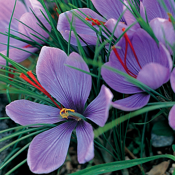 Buy Grow your own saffron - saffron crocus bulbs Crocus ...