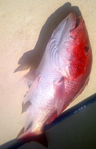 big alabama red snapper released live in July 2014