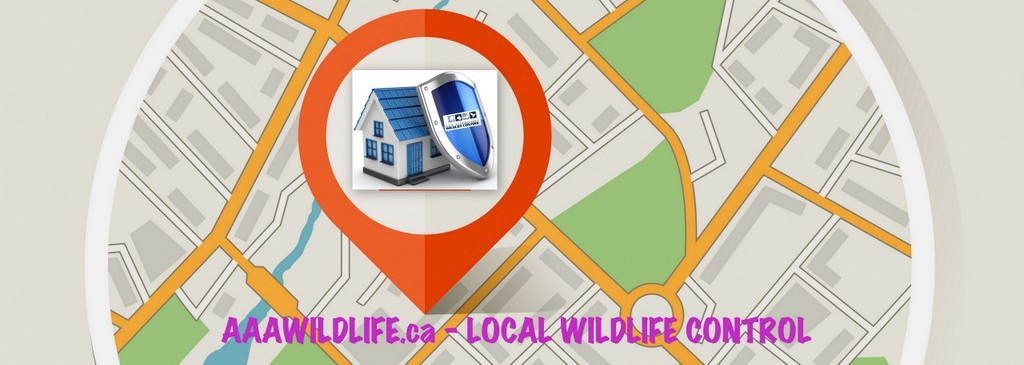 Squirrel Removal, Squirrel Control, Wildlife Removal, Animal Removal Toronto. AAA Affordable Wildlife Control Service in Toronto