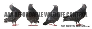 Affordable Bird Removal Toronto - AAA Affordable Wildlife Control