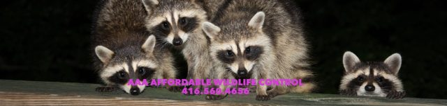 Affordable Wildlife Control Toronto, Affordable Critter Removal, Affordable Animal Removal